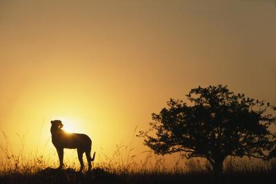Silhouette of Cheetah and Tree-Paul Souders-Photographic Print