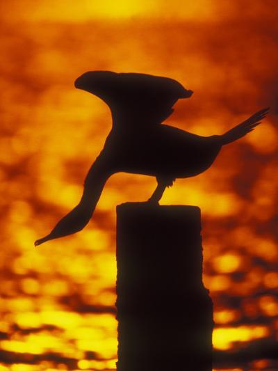 Silhouette of Double Crested Cormorant on Pile at Sunset, Jamaica Bay Wildlife Refuge, New York-Arthur Morris-Photographic Print