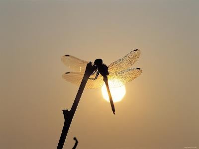 Silhouette of Dragonfly Perched on Edge of Stick at Sunset--Photographic Print