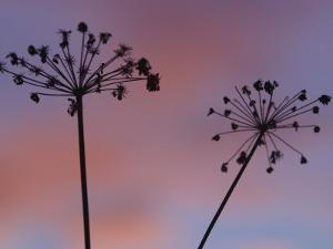 Silhouette of Dry Cow Parsley Flowers at Sunset in Winter