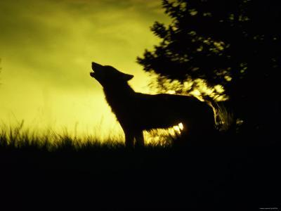 Silhouette of Gray Wolf Standing in Field While Howling--Photographic Print