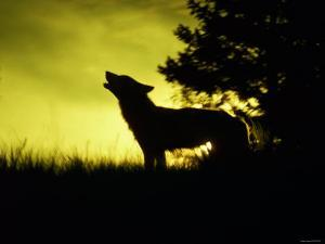 Silhouette of Gray Wolf Standing in Field While Howling