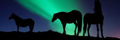 Silhouette of Horses at Dusk, Iceland--Photographic Print