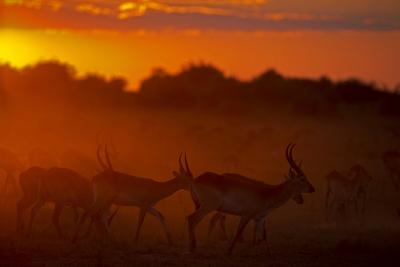 Silhouette of Lechwe, Kobus Leche, in the Early Morning Light-Beverly Joubert-Photographic Print