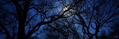 Silhouette of Oak Trees, Texas, USA--Photographic Print