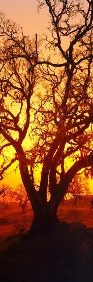 Silhouette of Oaks Trees, Central Coast, California, USA--Photographic Print