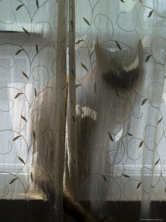 https://imgc.artprintimages.com/img/print/silhouette-of-orange-tabby-cat-sitting-on-a-windowsill-behind-curtain-groton-connecticut_u-l-p2yi1h0.jpg?p=0