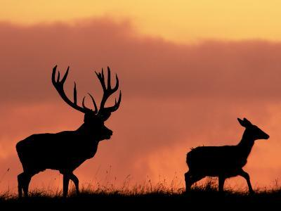 Silhouette of Red Deer Stag and Doe at Sunset, Dyrehaven, Denmark-Edwin Giesbers-Photographic Print