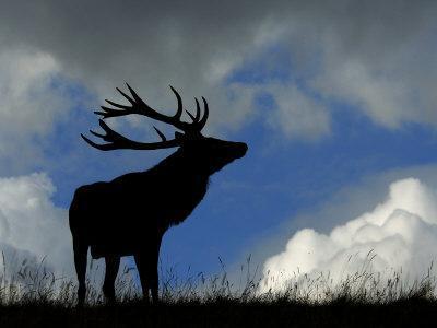 https://imgc.artprintimages.com/img/print/silhouette-of-red-deer-stag-dyrehaven-denmark_u-l-q10o2l80.jpg?p=0