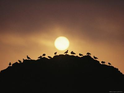 Silhouette of Shorebirds on Rock against Sun-Joel Sartore-Photographic Print