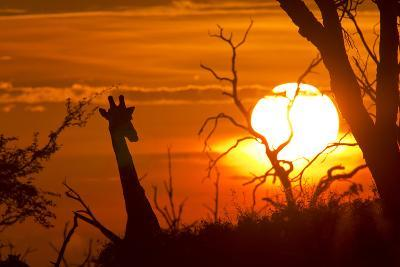 Silhouette of Southern Giraffe at Sunset-Roy Toft-Photographic Print