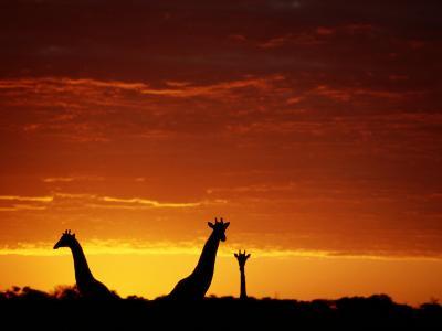 Silhouette of Three Giraffes against an Intense Sunset-Chris Johns-Photographic Print