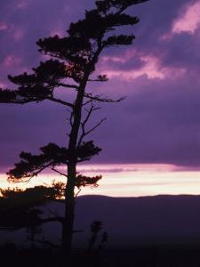 Silhouette of Tree with Pink Clouds of Sunset in Newfoundland, Canada