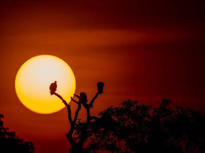 Silhouette Of Vultures Perching On A Tree Breanch At Sunset-Beverly Joubert-Photographic Print