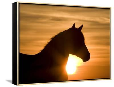 Silhouette of Wild Horse Mustang Pinto Mare at Sunrise, Mccullough Peaks, Wyoming, USA-Carol Walker-Framed Canvas Print