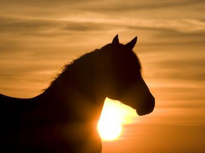 Silhouette of Wild Horse Mustang Pinto Mare at Sunrise, Mccullough Peaks, Wyoming, USA-Carol Walker-Photographic Print