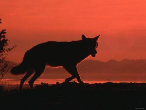 Silhouette of Wolf While Walking Through Field at Sunset