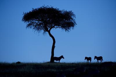 Silhouette Of Zebras, Equus Quagga, Standing By An Acacia Tree-Andrew Coleman-Photographic Print