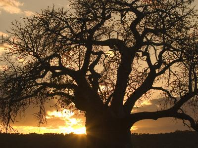 Silhouetted African Baobab Tree at Sunset-Roy Toft-Photographic Print
