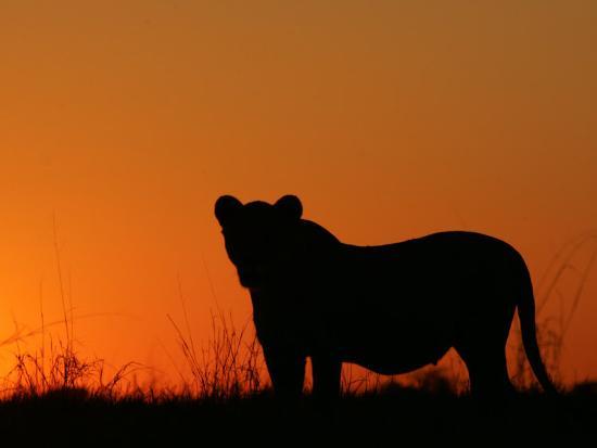 Silhouetted African Lioness, Panthera Leo, at Twilight, Okavango Delta, Botswana-Beverly Joubert-Photographic Print