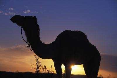 Silhouetted Camel at Sunset-Design Pics Inc-Photographic Print