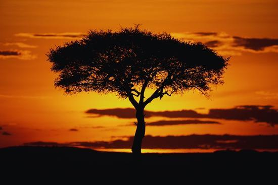 Silhouetted Camelthorn Tree at Sunset-Paul Souders-Photographic Print