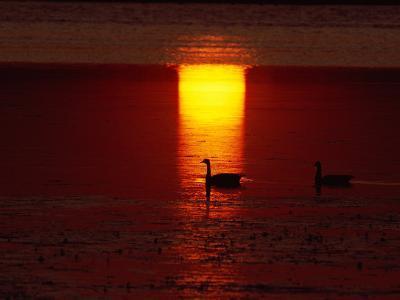 Silhouetted Canada Geese at Twilight-Medford Taylor-Photographic Print