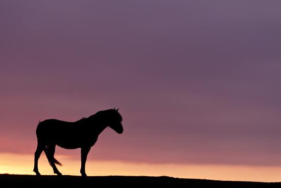Silhouetted Dartmoor Pony (Equus Caballus) at Sunrise, Combestone Tor, Dartmoor Np, Devon, UK-Ross Hoddinott-Photographic Print
