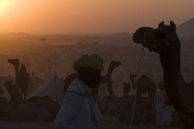 Silhouetted Dromedary Camels at Dusk at the Pushkar Camel Fair-Steve Winter-Photographic Print