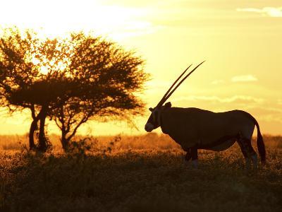 Silhouetted Gemsbok, Oryx Gazella, and Tree at Sunrise-Roy Toft-Photographic Print