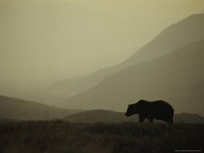Silhouetted Grizzly Bear in a Foggy Mountain Landscape-Michael S^ Quinton-Photographic Print