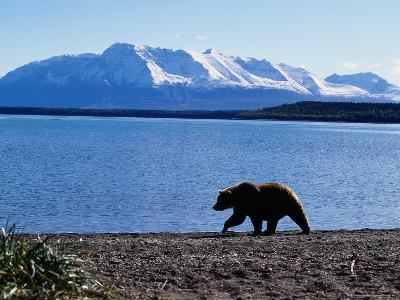 Silhouetted Grizzly Bear Walking Near Water-D^ Robert Franz-Photographic Print