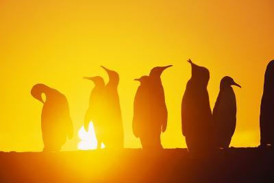 Silhouetted King Penguin Colony at Sunrise--Photographic Print