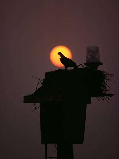 Silhouetted Osprey on its Nest-Medford Taylor-Photographic Print