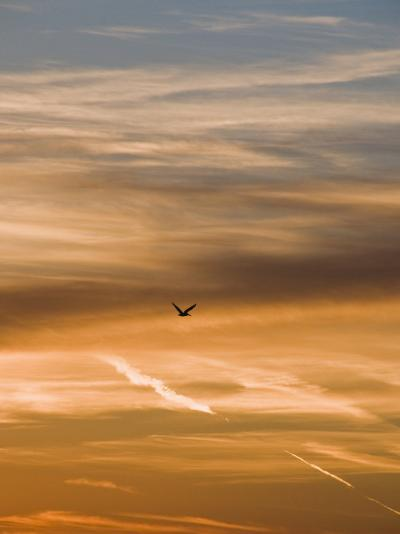 Silhouetted Pelican Flies Toward Sunset-James Forte-Photographic Print