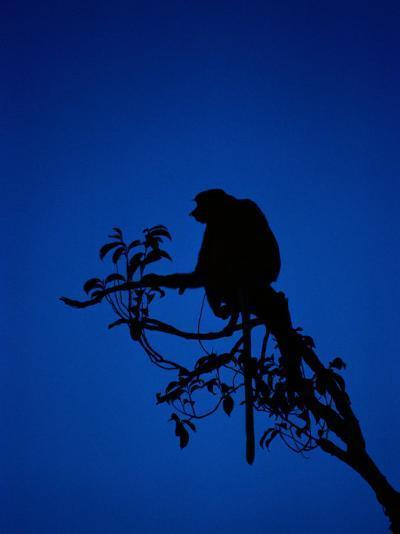 Silhouetted Proboscis Monkey (Nasalis Larvatus)-Mattias Klum-Photographic Print