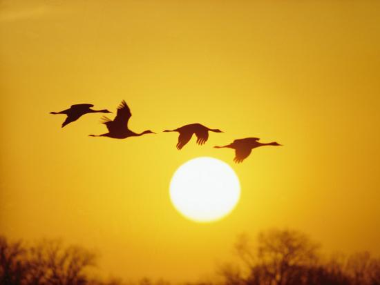 Silhouetted Sandhill Cranes against a Setting Sun-Lowell Georgia-Photographic Print