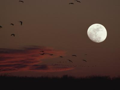 Silhouetted Sandhill Cranes Fly Near an Almost Full Moon-Tom Murphy-Photographic Print