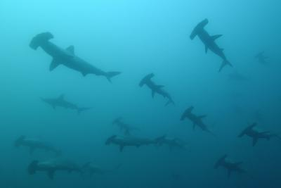 Silhouetted Scalloped Hammerhead Sharks Swimming Together-Jeff Wildermuth-Photographic Print