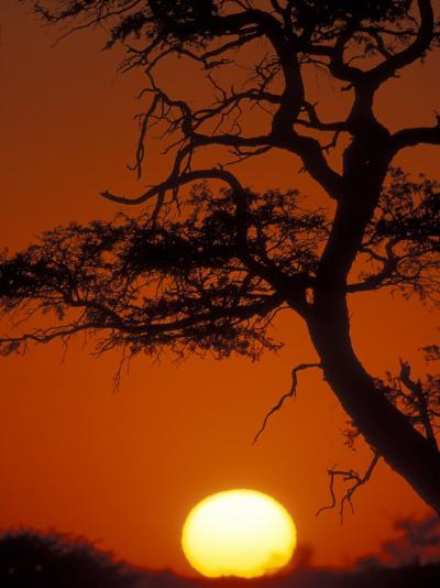 Silhouetted Tree Branches, Kalahari Desert, Kgalagadi Transfrontier Park, South Africa-Paul Souders-Photographic Print
