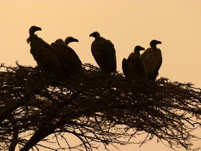 Silhouetted Vultures in an Acacia Tree at Sunset-Roy Toft-Photographic Print