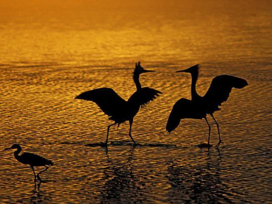Silhouettes of Reddish Egrets Conduct Mating Dance in Gold-Colored Water-Arthur Morris-Photographic Print
