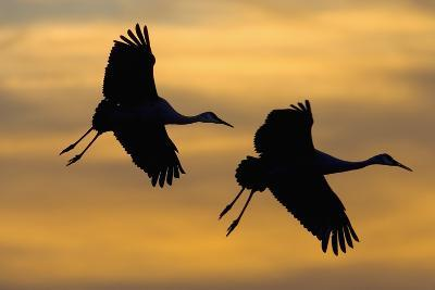 Silhouettes of Two Sandhill Cranes-Darrell Gulin-Photographic Print