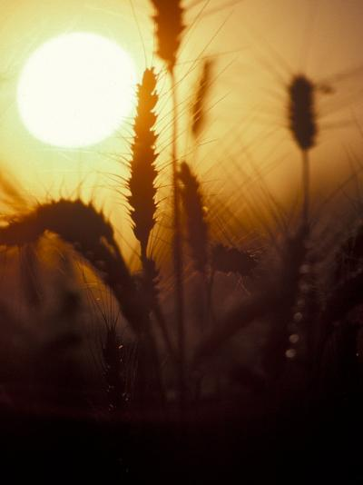Silhouettes of Wheat Plants at Sunset-Janis Miglavs-Photographic Print