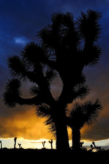 Silhouettte Of Joshua Tree (Yucca Brevifolia) At Sunset, Joshua Tree National Park, Mojave Desert-Jouan Rius-Photographic Print