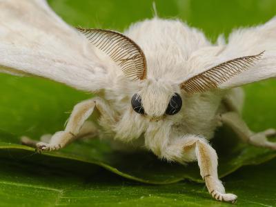 Silk Moth Adult Male (Bombyx Mori)-Fabio Pupin-Photographic Print