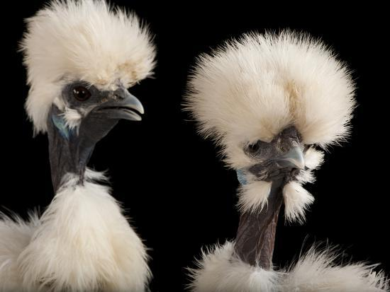Silkie Showgirl Chickens, Gallus Gallus Domesticus, at the Fort Worth Zoo-Joel Sartore-Photographic Print