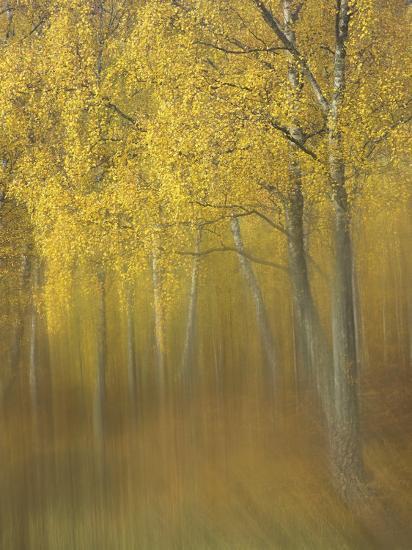 Silver Birch, Impression of Woodland, Scotland-Mark Hamblin-Photographic Print