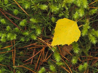 https://imgc.artprintimages.com/img/print/silver-birch-leaf-close-up-on-the-forest-floor-uk_u-l-q10r2tp0.jpg?p=0