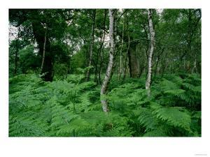 Silver Birch Trees and Ferns, Sherwood Forest